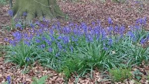 Bluebells at Great Chalk Wood
